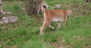 Jeune lynx européen marchant dans la forêt par soirée d'été clips vidéos