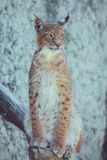 Jeune lynx sur un fond blanc Photo stock