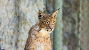 Jeune lynx sur un fond jaune Images libres de droits