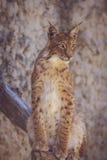 Jeune lynx sur un fond rose Photographie stock