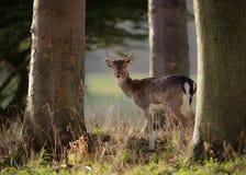 Jeune mâle de cerfs communs affrichés en bois Photo libre de droits