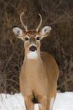 Jeune mâle de cerfs communs de blanc-queue Image libre de droits