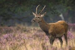 Jeune mâle de cerfs communs rouges en rut Photos libres de droits