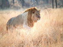 Jeune mâle de lion photo stock