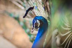 Jeune mâle de paon avec le plumage bleu dans la ferme d'élevage de paon B Photo stock
