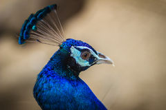 Jeune mâle de paon avec le plumage bleu dans la ferme d'élevage de paon B Photographie stock libre de droits