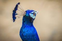 Jeune mâle de paon avec le plumage bleu dans la ferme d'élevage de paon B Photo libre de droits