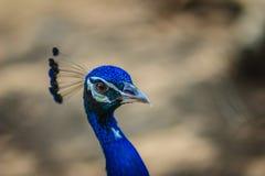 Jeune mâle de paon avec le plumage bleu dans la ferme d'élevage de paon B Photos stock