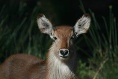 Jeune mâle de Waterbuck dans le bushveld avec le Je-amour-vous-nez Images stock