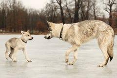 Jeune mâle mignon de wofdog et son ami sur la rivière de gel Image libre de droits