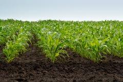 Jeune maïs vert Image stock