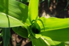 Jeune maïs vert Photos stock