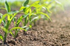 Jeune maïs vert s'élevant sur le champ Jeunes centrales de maïs image libre de droits