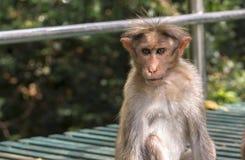 Jeune macaque avec le regard fixe pointu curieux photographie stock libre de droits