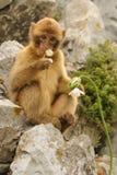 Jeune macaque de Barbarie - silvanus de Macaca Photographie stock