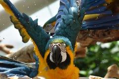 Jeune Macaw Bleu-et-jaune Domestique, position photographie stock