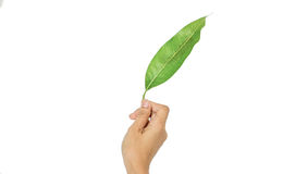 Jeune main tenant une feuille verte photographie stock