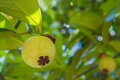 Jeune mangoustan sur l'arbre images libres de droits