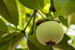 Jeune mangoustan sur l'arbre images stock