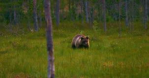 Jeune marche d'ours brun gratuite dans la forêt recherchant la nourriture clips vidéos