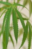 Jeune marijuana de centrale de cannabis Images stock