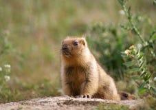 Jeune marmotte Photos libres de droits