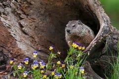 Jeune marmotte d'Amérique et x28 ; Monax& x29 de Marmota ; Regarde de l'intérieur du rondin Image libre de droits