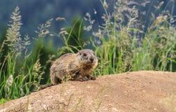 Jeune marmotte sur le pré alpin image stock
