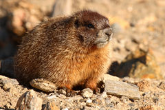 Jeune marmotte Yellow-bellied Image stock