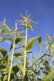 Jeune maïs de maturation Photo stock