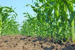 Jeune maïs vert Images stock