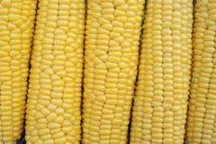 Jeune maturité de laiterie de maïs, variétés de nourriture développées à une ferme écologique images libres de droits
