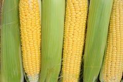 Jeune maturité de laiterie de maïs, variétés de nourriture développées à une ferme écologique photo stock