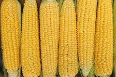 Jeune maturité de laiterie de maïs, variétés de nourriture développées à une ferme écologique photos stock