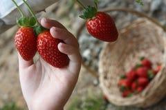 Jeune moissonneuse de fraises Images libres de droits