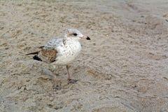 Jeune mouette sur la plage Photos libres de droits