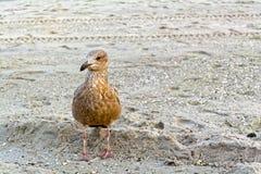 Jeune mouette sur la plage Photo libre de droits
