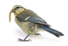 Jeune mésange bleue, caeruleus de Cyanistes, mangeant le ver de terre Photographie stock libre de droits