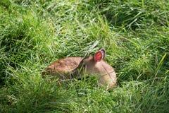 Jeune Muntiacus de cerfs communs de Muntjac Images libres de droits