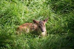 Jeune Muntiacus de cerfs communs de Muntjac Images stock