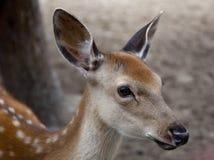 Jeune museau de cerfs communs Photographie stock libre de droits