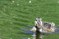 Jeune natation de canard de canard dans l'étang vert images stock