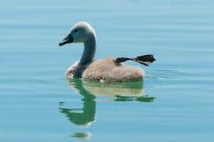 Jeune natation de cygne dans l'eau calme avec la réflexion évidente images libres de droits