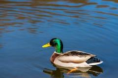 Jeune natation gentille de canard de Mallard le premier ressort de lac image stock