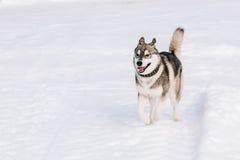 Jeune neige de Husky Dog Play Outdoor In, hiver Images libres de droits