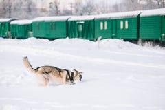 Jeune neige de Husky Dog Play Outdoor In, hiver Photo stock
