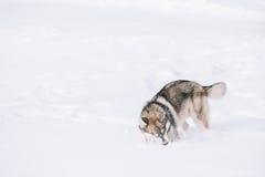 Jeune neige de Husky Dog Play Outdoor In, hiver Photographie stock