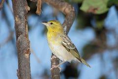 Jeune oiseau cardinal femelle Photos libres de droits