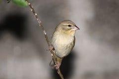 Jeune oiseau cardinal sur la branche Photographie stock