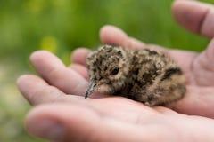 Jeune oiseau de chéri d'un vanneau huppé Images stock